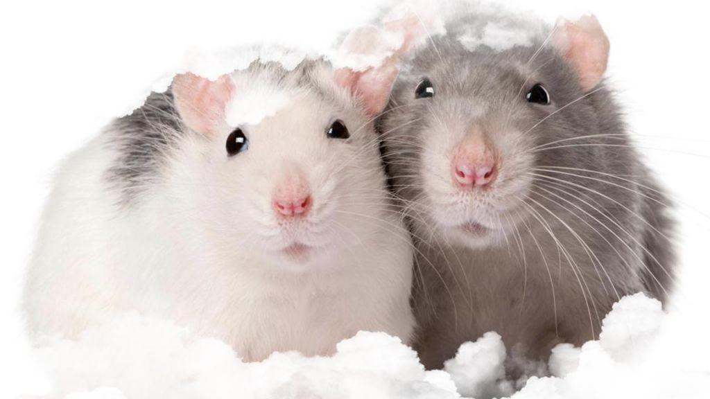 Sueños con ratas y ratones