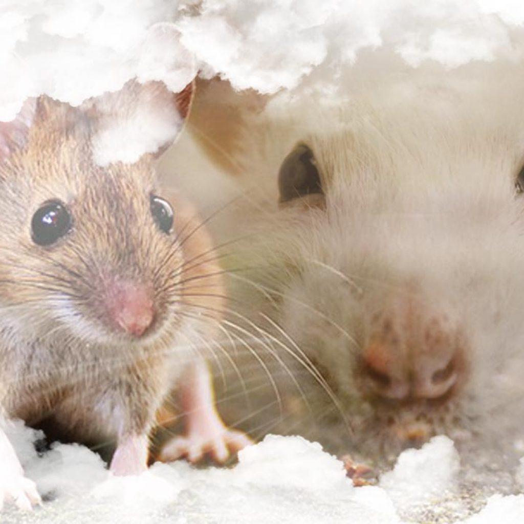 Soñar con ratas y ratones